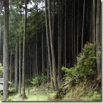 昼間でも暗いスギヒノキ林の林床
