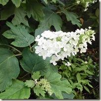 カシワバアジサイの花序