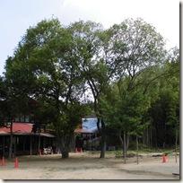 園庭のマルバヤナギの大木