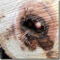 ヒメボクトウの幼虫。集団で穿孔している。