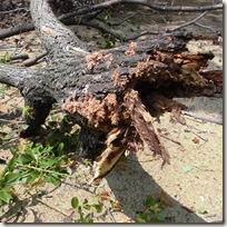 枝折れ箇所。ヒメボクトウによる穿孔被害。
