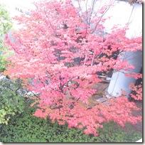 信州長野の紅葉 ヤマボウシ