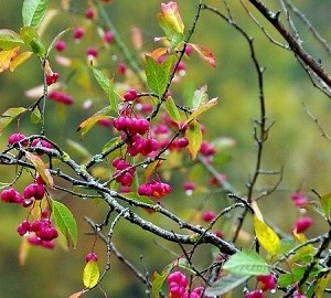 おすすめ樹木ギャラリー 落葉樹