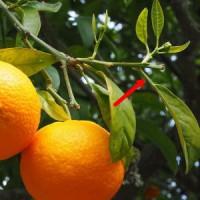 日本のミカン類やオレンジは翼葉が小さいかほとんど目立たないものも多い。