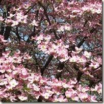ハナミズキの花 紅花種