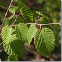 トサミズキの葉